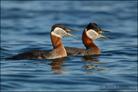 Calling pair of Red-necked Grebes
