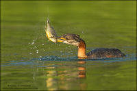 Red-necked Grebe shaking perch