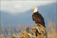 Bald Eagle on driftwood (horizontal)
