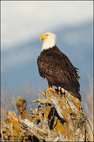 Bald Eagle on driftwood (vertical)