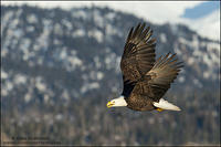 Bald Eagle calling against winter backdrop