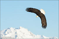 Bald Eagle banking over mountains