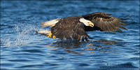 Bald Eagle fish capture