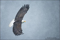 Bald Eagle soaring in snow (horizontal)