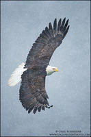 Bald Eagle soaring in snow (vertical)