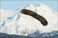 Bald Eagle soaring against distant mountain backdrop