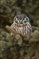 Boreal Owl in conifer