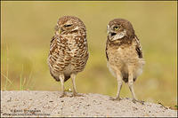 Burrowing Owl parent and young