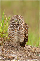 Burrowing Owl in grasses near burrow