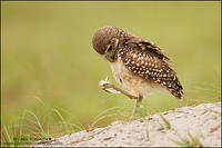 Juvenile Burrowing Owl with feather