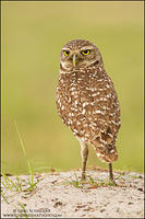 Burrowing Owl look back