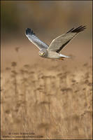 Northern Harrier male in flight - stare