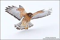 Red-shouldered Hawk flying across fresh snow