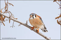 American Kestrel (male) perched