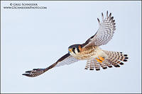 American Kestrel banking in flight