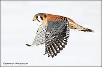 American Kestrel flying