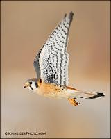 American Kestrel in flight (vertical)