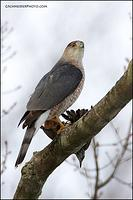 Cooper's Hawk with starling prey