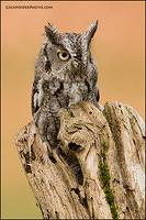 Eastern Screech Owl in hollow log