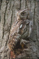 Eastern Screech Owl at dusk