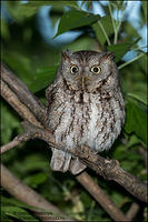 Eastern Screech Owl in forest habitat