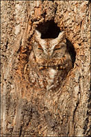 Eastern Screech Owl (red morph) in tree cavity