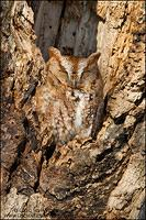Eastern Screech Owl (red phase) sleeping in tree cavity