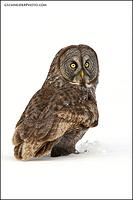 Great Gray Owl look back