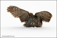 Great Gray Owl landing on prey