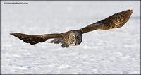 Great Gray Owl wingspan
