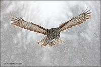 Great Gray Owl hunting in heavy snow
