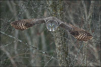 Great Gray Owl diving with wings forward