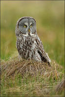 Great Gray Owl on ground