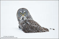 Great Gray Owl on ground in snow
