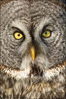 Great Gray Owl - tight facial portrait