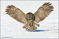 Great Gray Owl pouncing on prey