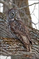 Great Gray Owl perched in tree