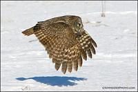 Great Gray Owl flying in sunlight