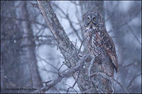 Great Gray owl in snowstorm
