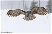 Great Gray owl flying