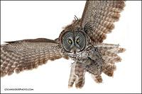 Great Gray Owl inbound