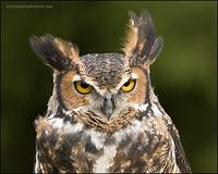 Great Horned Owl head portrait
