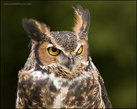 Great Horned Owl with ears raised