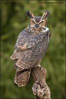 Great Horned Owl look back