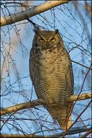 Great Horned Owl - Snyder's subspecies