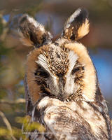 Long-Eared Owl head portrait