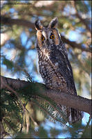 Long-Eared Owl perched in clearing