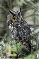 Long-eared Owl profile