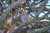 Long-Eared Owl (4650)