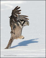 Northern Hawk Owl pouncing